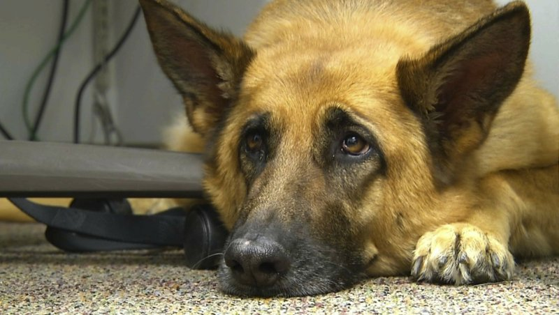 """FILE - This Feb. 18, 2014 shows Lexy, a therapy dog at Fort Bragg, N.C. A study released on Monday, June 17, 2019 suggests that over thousands of years of dog domestication, people preferred dogs that could pull off the """"puppy dog"""