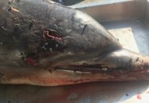Dolphin with head wound (Credit: Florida Fish and Wildlife Conservation Commission)
