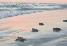 Turtles crawl to the shore. (Credit: Joe Nickleson Mote Marine Labratory)