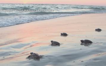 Turtles crawl to the shore. (Credit: Joe Nickleson Mote Marine Labratory)