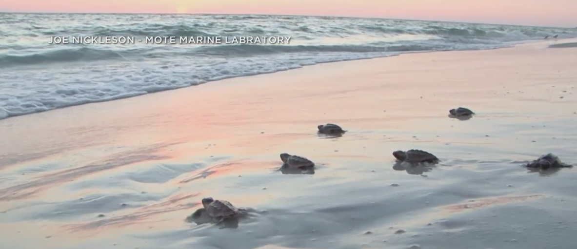 Turtle Power: Record nesting season expected in Southwest Florida