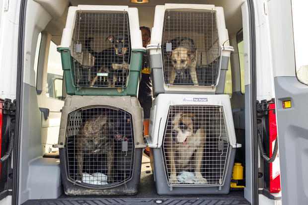 Pets are loaded onto vehicles after arriving in Manassas, Virginia. (Credit: ERIC KAYNE/HUMANE SOCIETY.)