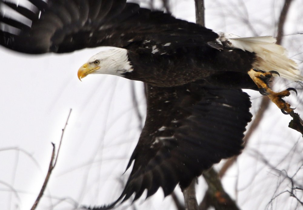 FILE - In this Feb. 1, 2016 file photo, a bald eagle takes flight at the Museum of the Shenandaoh Valley in Winchester, Va. While once-endangered bald eagles are booming again in the Chesapeake Bay, the overall trajectory of endangered species and the federal act that protects them isn't so clearcut. (Scott Mason/The Winchester Star via AP, File)