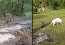 Collier dog dragging his back legs suggest connection to sick panthers. (Credit: WINK News)