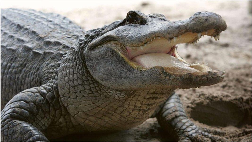 Large alligator. (Credit: CBS Miami)