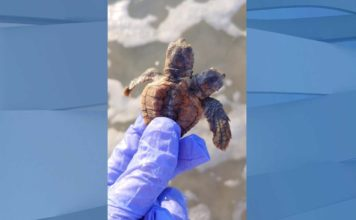 Two headed turtle. (Credit: Sea Turtle Patrol Hilton Head Island)