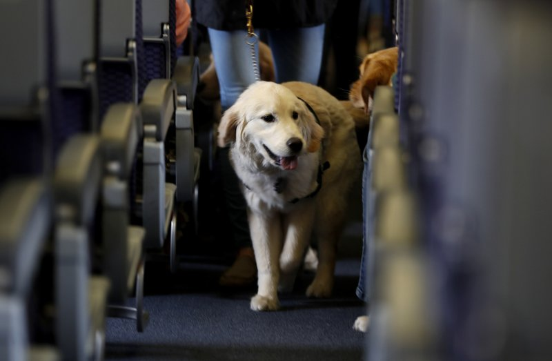 FILE - In this April 1, 2017 file photo, a service dog strolls through the isle inside a United Airlines plane at Newark Liberty International Airport while taking part in a training exercise in Newark, N.J. The government is telling airlines and passengers how it will enforce rules governing animals that people bring on planes. The Transportation Department said Thursday, Aug. 8, 2019, that airline employees can bar any animal they consider a safety threat. Airlines, however, can be punished if they ban an entire dog or cat breed, such as pit bulls. (AP Photo/Julio Cortez, File)