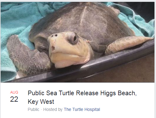 A rehabilitated sea turtle named Harry was freed near the Florida Keys by the Turtle Hospital. (Turtle Hospital Facebook event photo)