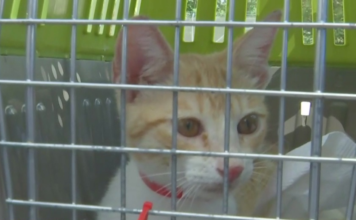 Cat in a cage from the Bahamas, soon to be adopted in Southwest Florida. (Credit: WINK News)