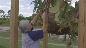 Deborah Coe admires her mother's Staghorn plant growing in her front yard. It's one of the only things Coe could save before Irma destroyed her Immokalee home in September of 2017. (Credit: WINK News)