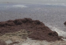 Gunk of red drift algae on Bowman Beach in Sanibel Island. (Credit: WINK News)