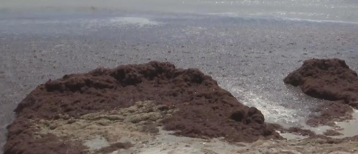 Hurricane Dorian brings chunks of red drift algae to Sanibel