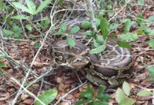 Burmese pythons take over the Everglades. (Credit: CBS News)
