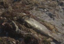 Dead fish. (Credit: WINK News)