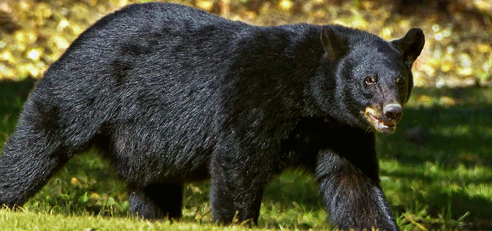 Black bears on the move, feeding heavy to put on weight