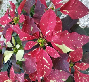 Garden Class: A Fresh Look at Holiday Plants for Southwest Florida
