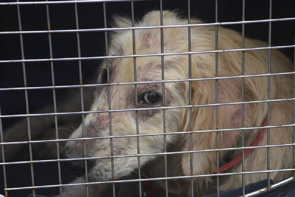 FILE - In this June 19, 2019 file photo, a dog taken from a property in Klingerstown, Pa., looks out from its cage during an animal cruelty investigation. Congress has passed a bill making certain types of animal cruelty a federal felony. (Jacqueline Dormer/Republican-Herald via AP)