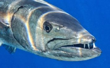 Barracuda is among the fish that has made people sick with the harmful toxin. (Credit: World Health Organization)