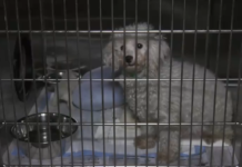 One of the dogs rescued from the Tampa breeding facility. (Credit: Hillsborough County Sheriff's Office)