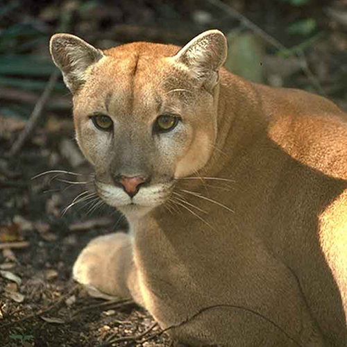 Officials: Florida panther dies after fight with other cat