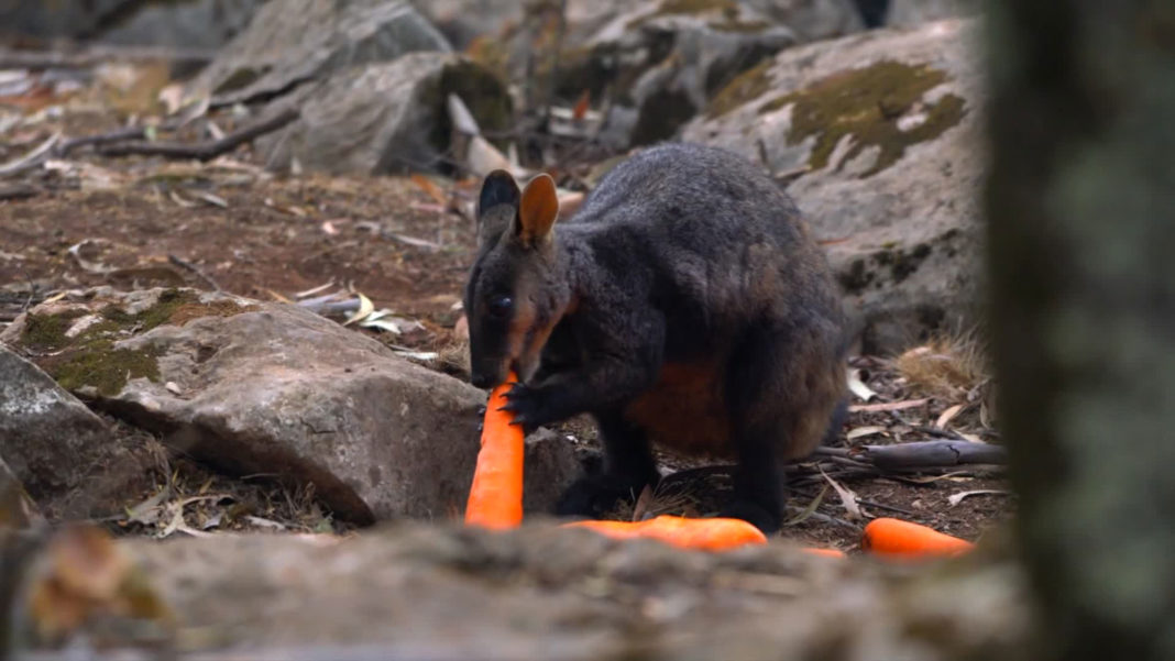 The mission is known as Operation Rock Wallaby. The New South Wales government is working to make sure the brush-tailed rock-wallabies affected by the Australian bushfires are fed as part of a post-fire wildlife recovery effort, according to Matt Kean, minister of energy and environment. (Credit: NSW Government)
