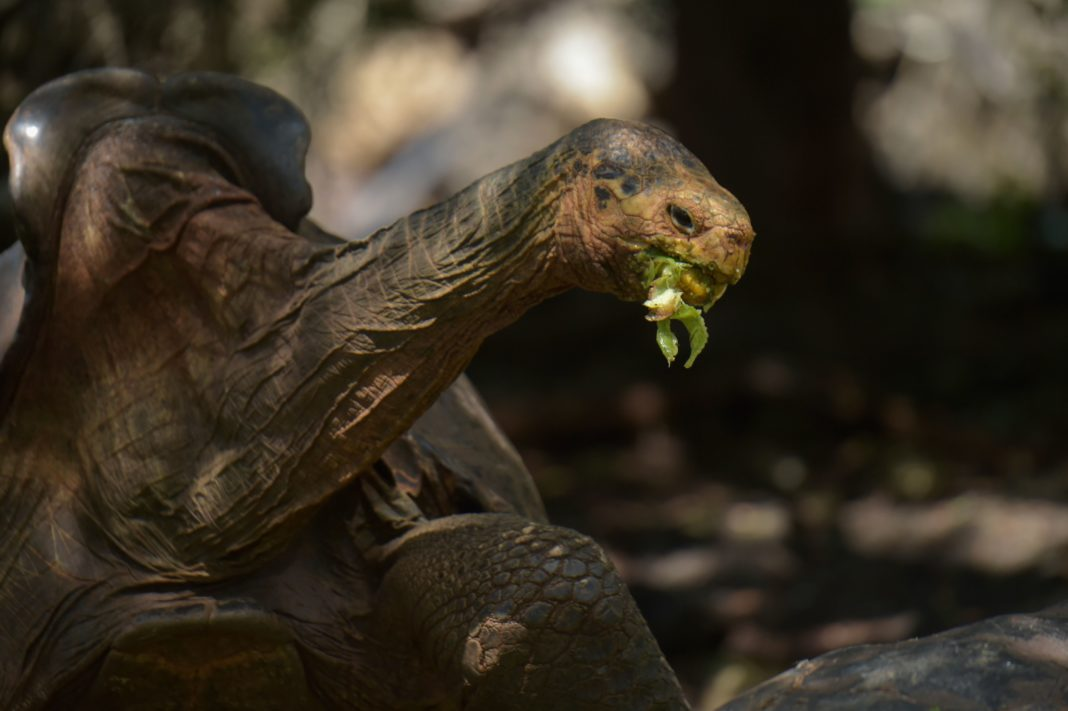 Diego, a tortoise of the endangered Chelonoidis hoodensis subspecies from Espanola Island, is seen in a breeding centre at the Galapagos National Park on Santa Cruz Island in the Galapagos archipelago, located some 1,000 km off Ecuador's coast, on February 27, 2019. - Diego, a Galapagos giant tortoise, has fathered an estimated 800 offspring, almost single-handedly rebuilding the species' population on their native island, Espanola, the southernmost in the Galapagos Archipelago. (Photo by RODRIGO BUENDIA / AFP) (Photo credit should read RODRIGO BUENDIA/AFP via Getty Images)