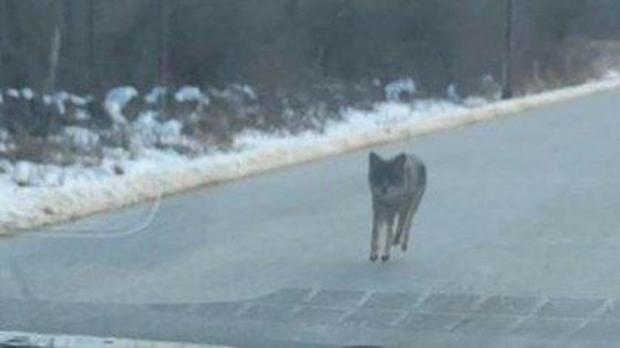 Dad kills coyote with bare hands after it attacked his child in New Hampshire