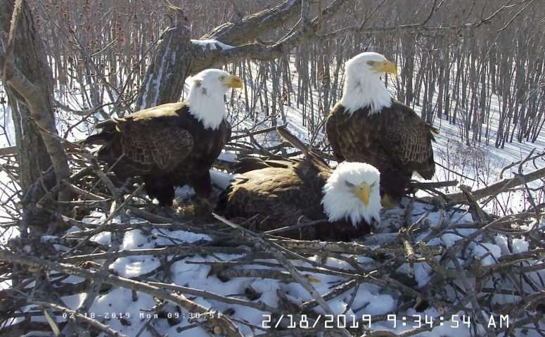 Bald eagles across the United States are dying from lead poisoning. (Credit: AP)