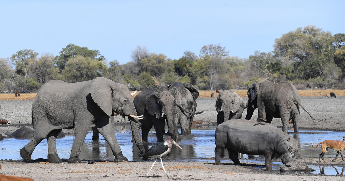 The Botswanan government-issued seven hunting licenses of 10 elephants each across seven areas that have been impacted by