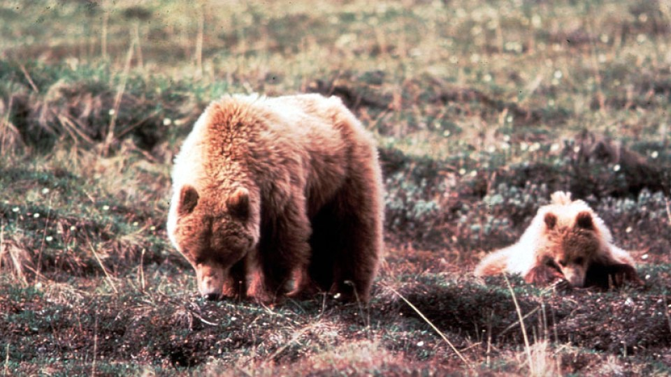 FILE: Grizzly Bear In Alaska. (Credit: Getty Images/FILE)