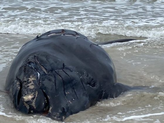 endangered whale killed