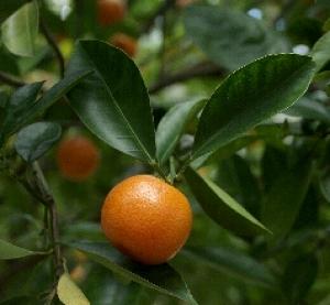 Garden Talk: Growing Citrus