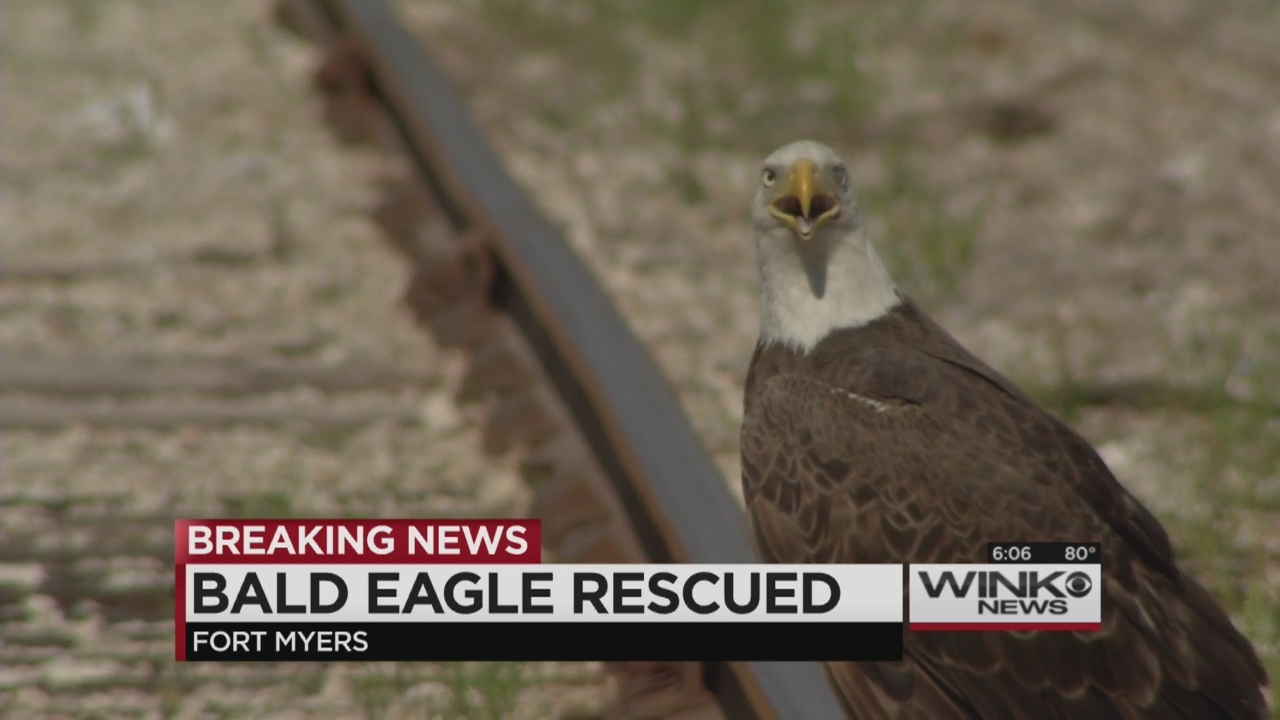 Injured bald eagle found in fort myers wink news for Florida fish wildlife