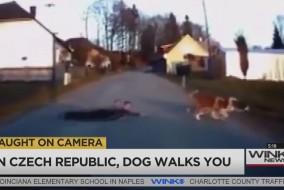dog takes boy for walk