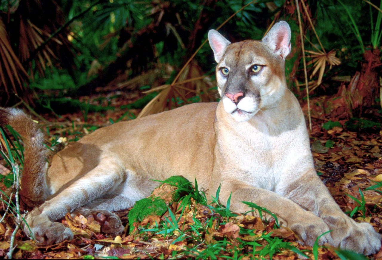 The Florida panther via a file photo from the U.S. Geological Survey/ photo by Larry Richardson.