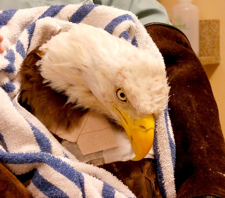Ozzie the bald eagle update