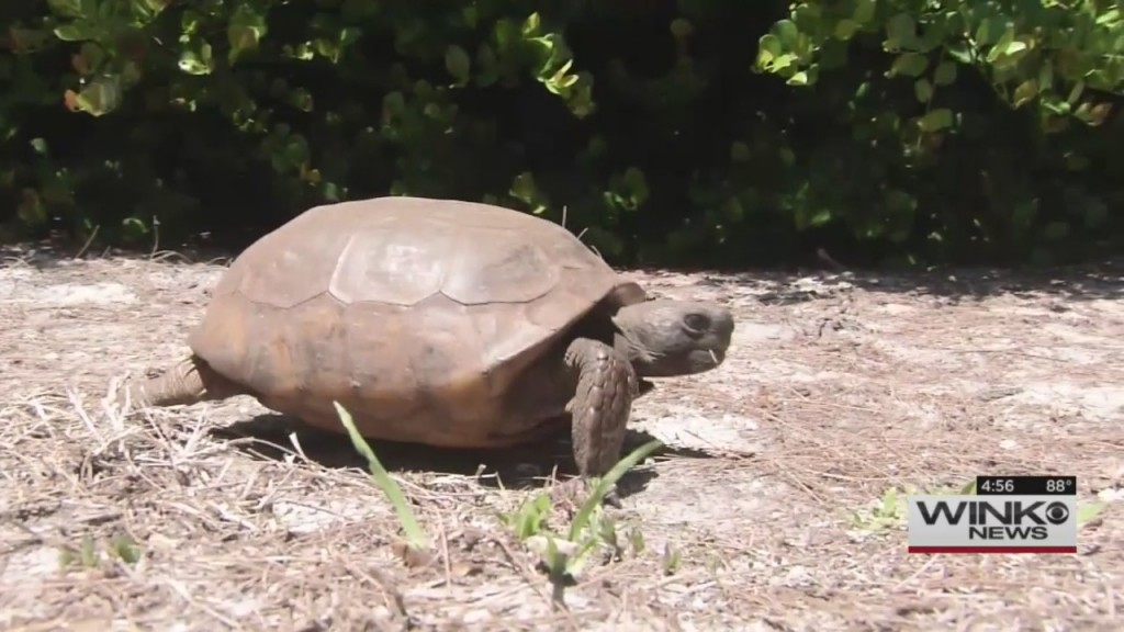 FGCU students clean up SWFL beaches to help tortoise populations
